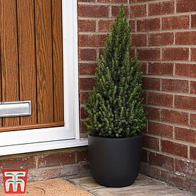potted christmas tree  picea perfecta  gift