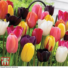 tulip everlasting mixed
