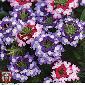 verbena obsession twister red and purple