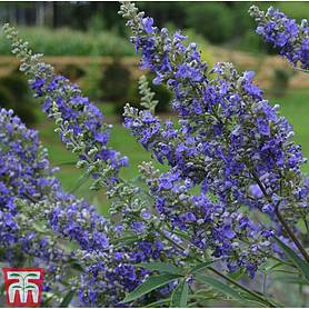 vitex agnuscastus delta blues