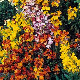 Wallflower 'My Fair Lady Mixed'