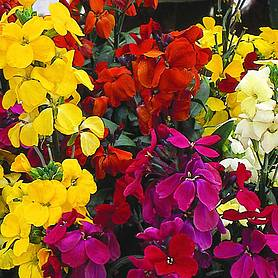 wallflower most scented mix