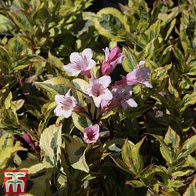 weigela florida magical rainbow
