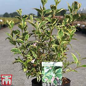 weigela white lightning