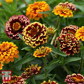 zinnia haageana aztec sunset improved