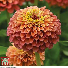 zinnia elegans queeny mixed