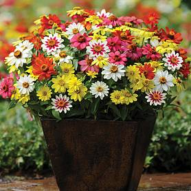 zinnia zahara singleflowered mixed garden ready