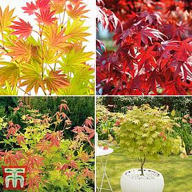 Nurseryman's Choice Acer