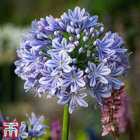 Agapanthus 'Full Moon'