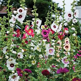 hollyhock halo mixed