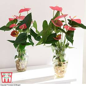 Anthurium Aqua Pink in Vase (House Plant)