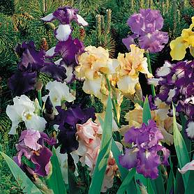 bearded iris breeders mix