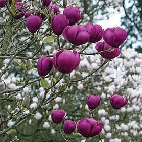 Magnolia Black Tulip Thompson Morgan
