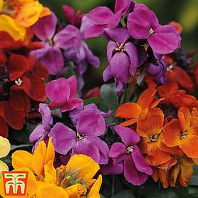 wallflower dwarf scented mixed