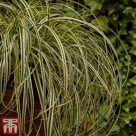 carex feather falls