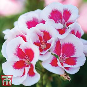 geranium flower fairy white splash