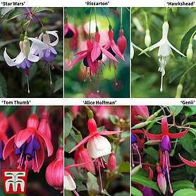 Fuchsia Colour Collection (Hardy)