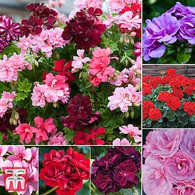 geranium lucky dip collection