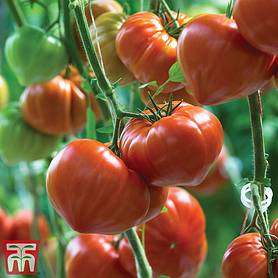 tomato gourmandia grafted