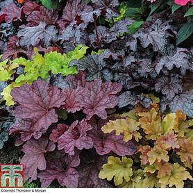 heuchera patchwork mix