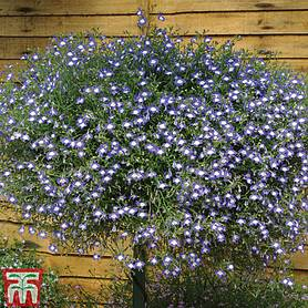lobelia erinus waterfall blue ice