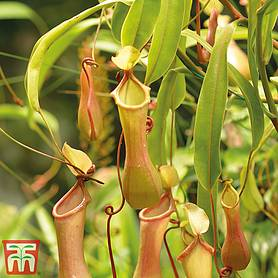Nepenthes alata (House Plant)