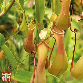 nepenthes alata house plant