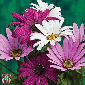 Osteospermum Collection (Hardy)
