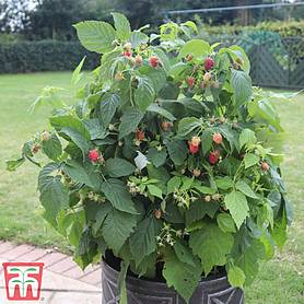 Raspberry 'Summer Lovers Patio Red' (Patio fruit)