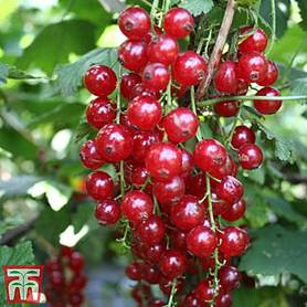Redcurrant 'Summer Pearls Red'