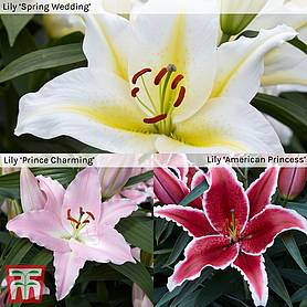 lily royal wedding collection