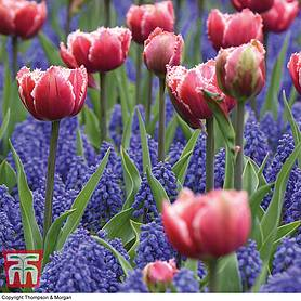tulip and muscari purple rain mix
