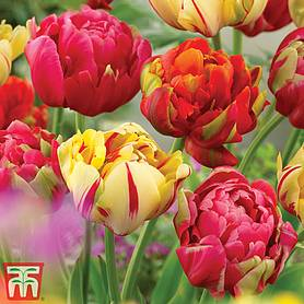 tulip colour carnival