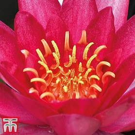 Water Lily (Red)