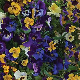 pansy waterfall mix