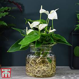 Anthurium Aqua White in Sierglass (House Plant)