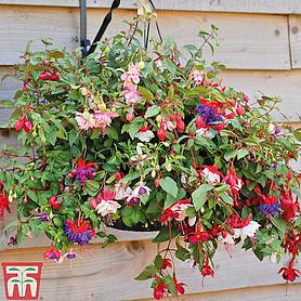 fuchsia trailing preplanted basket pot