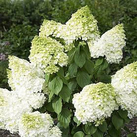 hydrangea paniculata magical moonlight