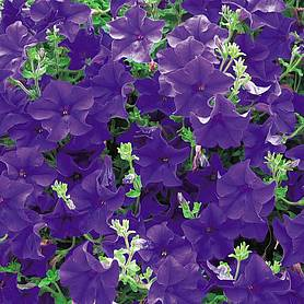 petunia trailing surfinia blue