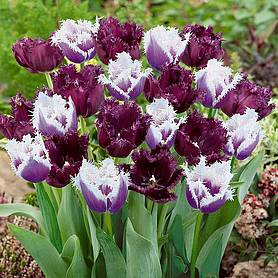 tulip black cherry frost