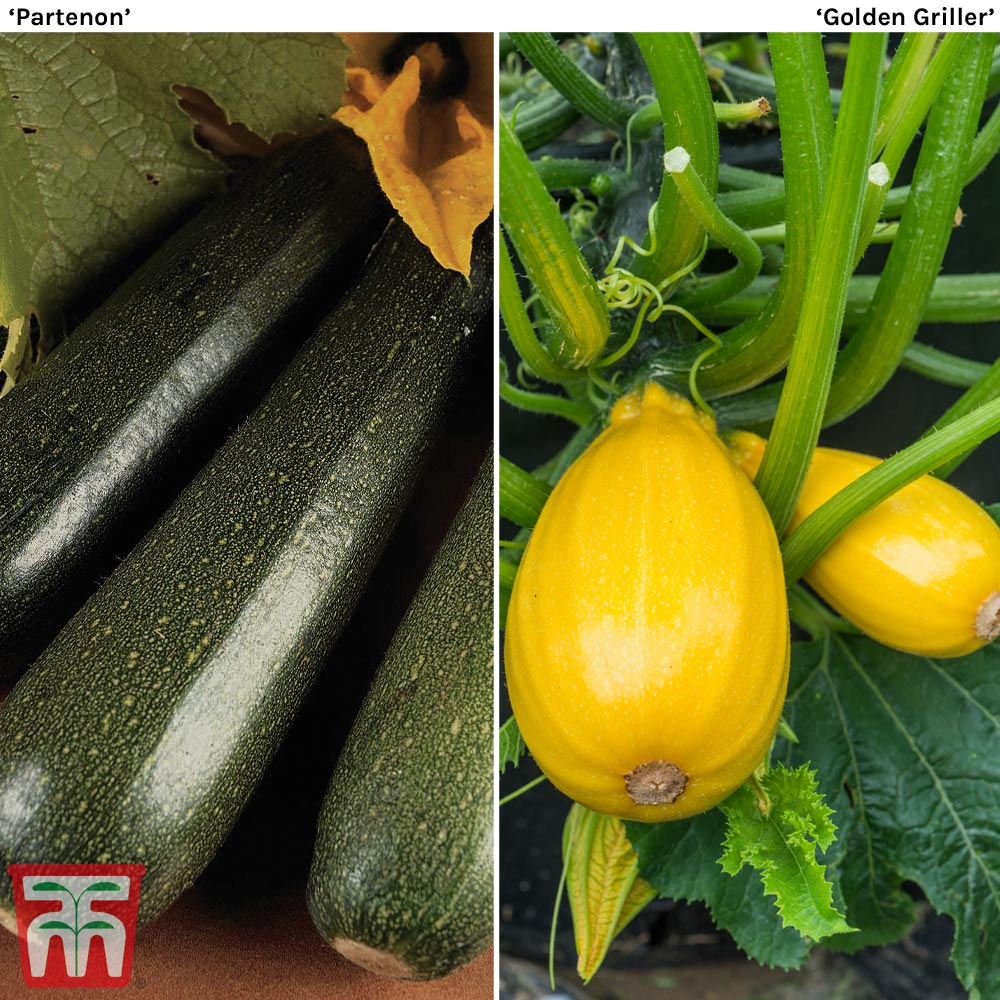 Image of Courgette Twin Pack