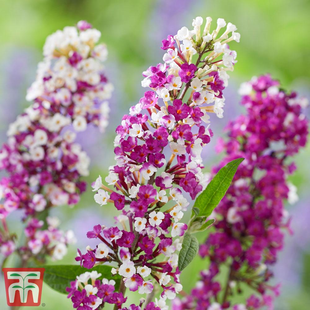 Image of Buddleja 'Berries and Cream'