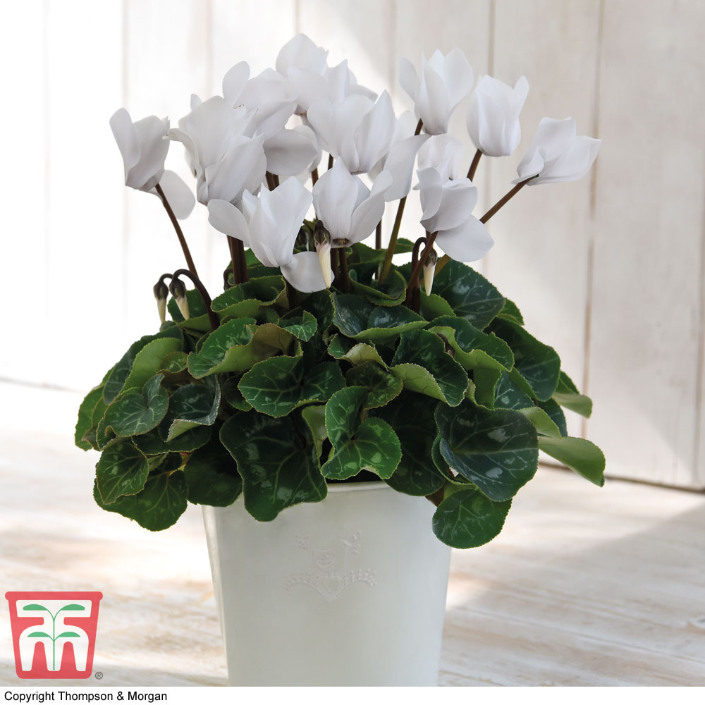 Image of Cyclamen persicum 'White' (House plant)