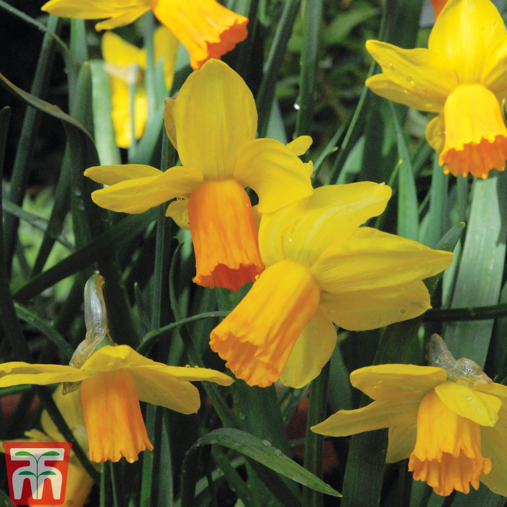 Image of Daffodil 'Jetfire'