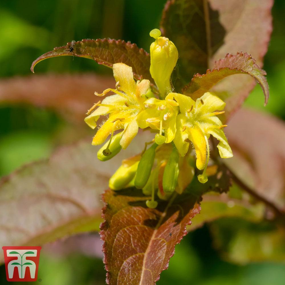 Image of Diervilla splendens