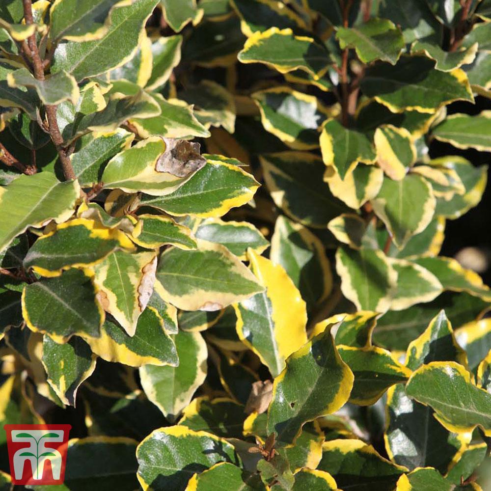 Garden & Leisure Elaeagnus x ebbingei 'Viveleg'