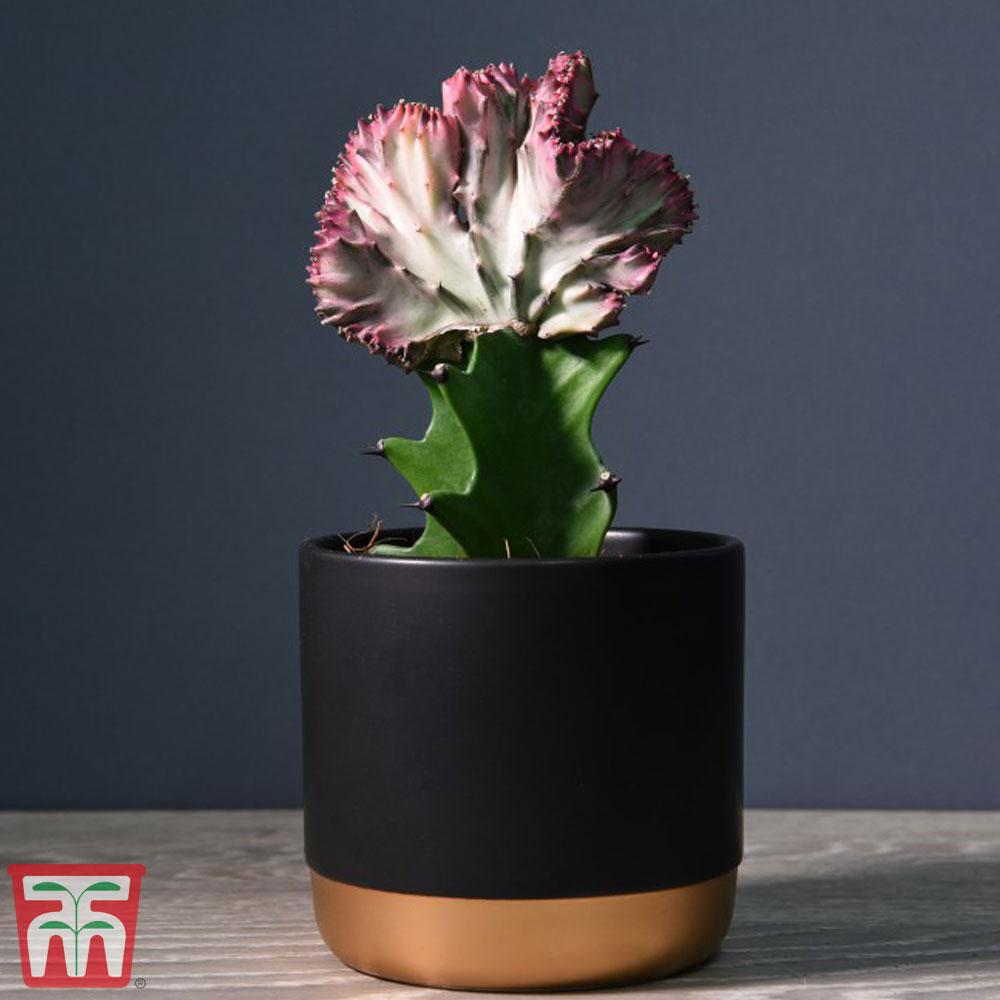 Image of Euphorbia lactea 'Cristata' (House plant)