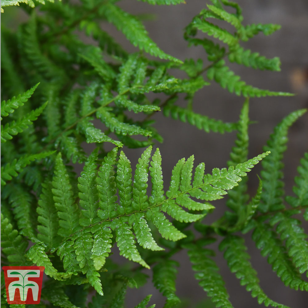 Image of Dryopteris Affinis (House Plant)