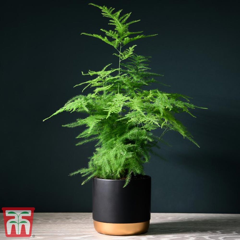 Image of Asparagus setaceus (House Plant)