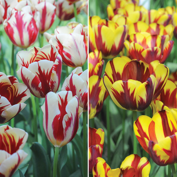 Image of Tulip 'Flaming Duo'